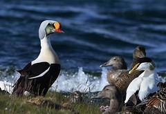 King Eider 33 (æðarkóngur) (Svenni and his Icelandic birds.) Tags: kingeider somateriaspectabilis æðarkóngur
