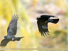 Red-billed Chough (Pyrrhocorax pyrrhocorax) (gilgit2) Tags: pakistan birds fauna canon geotagged feathers tags location species tamron category avifauna borit gojal redbilledchoughpyrrhocoraxpyrrhocorax gilgitbaltistan imranshah canoneos7dmarkii tamronsp150600mmf563divcusd wings wildlife gilgit2 pyrrhocoraxpyrrhocorax