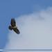 Himalayan Buzzard (Buteo refectus)