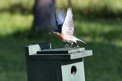 Eastern Bluebird (M. Coppola) Tags: egretglade florida pasco easternbluebird sialiasialis nest flight female