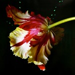 Tulip, Archival pigment print on Hahnemühle Photo Rag by Molly Wood thumbnail