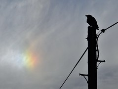 Silhouetted Crow and Rainbow Cloudscape (Gilli8888) Tags: nikon p900 coolpix northumberland countryside birds nature light clouds rainbow silhouette silhouettephotography crow pole telegraphpole cloudscape cresswell cresswellponds