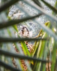 peek a boo lemur (limeyakphoto) Tags: lemur nature animal bronxzoo leaves trees framing