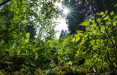 Leuchtend Grün (KaAuenwasser) Tags: wald berg berghang hang felsen stein boden waldboden pflanzen natur grün leuchten sonne licht sonnenstern strahlen baum bäume farn moos himbeeren leben 2019 sony ilce7rm3