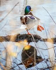 yoga duck (limeyakphoto) Tags: duck balance bronxzoo ny animal nature water dof depthoffield