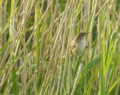 Reed Warbler On Grass Perch (Gilli8888) Tags: nikon p900 coolpix northumberland countryside birds nature cresswell cresswellponds grass warbler reedwarbler