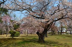 KYO_Nijo_Castle_22 (chiang_benjamin) Tags: kyoto japan nijocastle spring cherryblossom flowers trees