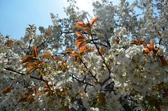 KYO_Nijo_Castle_18 (chiang_benjamin) Tags: kyoto japan nijocastle spring cherryblossom flowers trees
