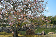 KYO_Nijo_Castle_08 (chiang_benjamin) Tags: kyoto japan nijocastle spring cherryblossom flowers trees garden