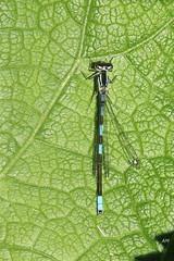 Agrion résolu (M) / Taiga Bluet (M) (alainmaire71) Tags: insecte insect odonata odonate damselfly demoiselle coenagrionidae coenagrionresolutum agrionrésolu taigabluet nature quebec canada