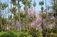 KYO_Nijo_Castle_20 (chiang_benjamin) Tags: kyoto japan nijocastle spring cherryblossom flowers trees