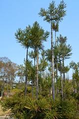KYO_Nijo_Castle_21 (chiang_benjamin) Tags: kyoto japan nijocastle spring trees
