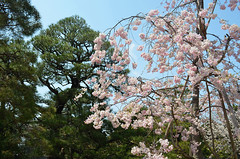 KYO_Nijo_Castle_16 (chiang_benjamin) Tags: kyoto japan nijocastle spring cherryblossom flowers trees