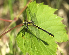 Gomphe fraternel / Midland Clubtail (alainmaire71) Tags: insecte insect odonata odonate libellule dragonfly gomphe clubtail gomphidae gomphusfraternus gomphefraternel midlandclubtail nature quebec canada