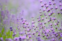 Sweet summer! / Édes nyár! (Ibolya Mester) Tags: hungary magyar magyarország arboretum pannonhalma abbey apátság lavender flower color colors canon canoneos600d