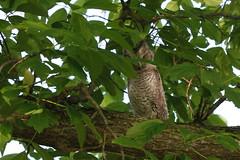 Eastern Screech Owls (REGOR NOTPUL) Tags: eastern screech owls glenburnie ontario
