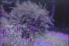 (✞bens▲n) Tags: leica m4 kodak ektapress 100 summilux 50mm f14 film negative flowers plants