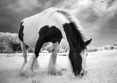 Infrared Horse Mono (GeorgeKBarker) Tags: infrared horse pony mare mane black white monochrome overcast 720 nm spectrum contrast equine equestrian graze pasture grass hoof hooves tail
