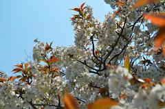 KYO_Nijo_Castle_17 (chiang_benjamin) Tags: kyoto japan nijocastle spring cherryblossom flowers trees