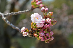 KYO_Nijo_Castle_09 (chiang_benjamin) Tags: kyoto japan nijocastle spring cherryblossom flowers trees garden