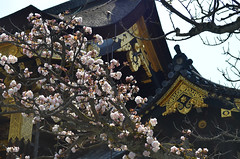 KYO_Nijo_Castle_05 (chiang_benjamin) Tags: kyoto japan nijocastle spring cherryblossom flowers trees
