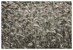 Sabno Canyon IR #39 2019; Grass Under Mesquites (hamsiksa) Tags: plants flora desertplants grasses poaceae gramineae xerophytes grains cereals desert sonorandesert bajada santacatalinamountains coronadonationalforest blackwhite infrared digitalinfrared infraredphotography