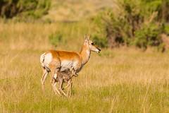 Practice run (ChicagoBob46) Tags: pronghornantelope antelope fawn doe yellowstone yellowstonenationalpark nature wildlife ngc coth5 naturethroughthelens npc