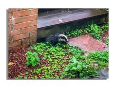 A Badger appears (David JP64) Tags: animal lancashire rossendale stacksteads badger