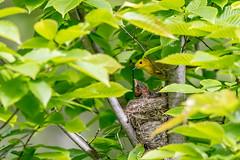 yellow (ricmcarthur) Tags: setophagapetechia yellow warbler yellowwarbler nest rondeau ricmcarthur rickmcarthur rondeauric