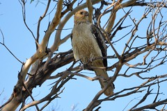 Whistling Kite_0875 (Haliastur sphenurus) (Neil H Mansfield) Tags: haliastursphenurus whistlingkite kite bird nature native australia victoria raptor