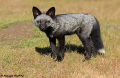 Silver phase Red Fox Kit (Vulpes vulpes) (bcbirdergirl) Tags: silverphase redfox redfoxkit kit curious ilovefoxes foxes kits vulpesvulpes wild notbaited blackphase blackmorph silvermorph
