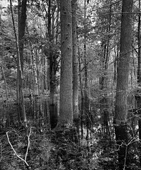 Deep in the Forest (mswan777) Tags: tree forest wood outdoor nature scenic water wet reflection tall apple iphone iphoneography mobile hike trail stevensville michigan ansel monochrome black white