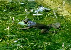 Tuesday's frog (EcoSnake) Tags: americanbullfrog lithobatescatesbeiana frogs amphibians june water wildlife idahofishandgamenature center