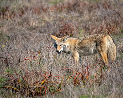 Morning Snack (lennycarl08) Tags: coyote animalplanet wildlife pointreyesnationalseashore pointreyes