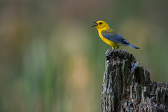 Prothonotary Warbler (Brian_Harris_Photography) Tags: prothonotary warbler spring migration yellow black bird brown blue grey pennsylvania portrait light lens exposure wildlife swamp marsh male hiking tree trees park prime