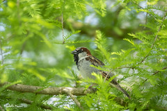 House Sparrow (lamoustique) Tags: passerdomesticus housesparrow moineaudomestique brushprairie washington usa