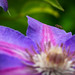 Chilling Out on a Clematis Petal