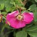 Rosa acicularis  オオタカネバラ