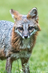 Gray Fox (tkfranzen) Tags: grayfox yardanimals wildlife canid urocyoncinereoargenteus mammal northamericanmammal easternwildlife