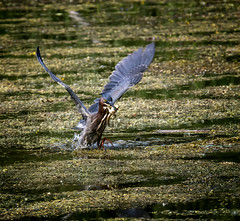 Crunch Time (Portraying Life, LLC) Tags: da3004 hd14tc k1 michigan unitedstates bird closecrop handheld nativelighting pond tadpole bullfrog heron lunch pentax ricoh hunting