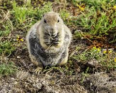 Snack Time (punahou77) Tags: prairiedog wichitamountainswildliferefuge wildlife wildliferefuge nature nikond500 nationalpark nikon punahou77 park stevejordan eating