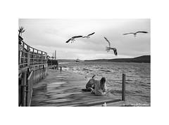 Manly Wharf, Sydney 2019  #962 (lynnb's snaps) Tags: 35mm cvultron35mmf2vintagemmo id11 ilfordhp5 leicacl manly bw blackandwhite film cvultron35mmf2vintagemmount leicafilmphotography sydney australia rangefinderphotography bianconegro blackwhite biancoenero bianconero blancoynegro noiretblanc schwarzweis monochrome ishootfilm filmfilmforever filmneverdie manlywharf manlyferry seagulls birds girls harbour sydneyharbour