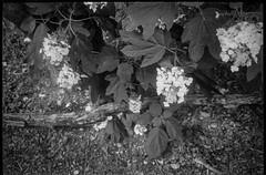 looking down, hydrangea blossoms, leaves, fallen branch,  Asheville, NC, Voigtlander Vitomatic II, Rera Pan 400, HC-110 developer, 6.14.19 (steve aimone) Tags: lookingdown hydrangea hydrangeablossoms leaves fallenbranch blossoms floralforms asheville northcarolina vitomatic voigtlander voigtlandervitomaticii rerapan400 hc110developer 35mm 35mmfilm film blackandwhite monochrome monochromatic