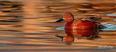Cinnamon Teal (Let there be light (A.J. McCullough)) Tags: texas texasbirds teal cinnamonteal cinnamon birds esterollanogrande southtexas featheryfriday