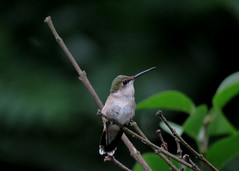 Resting hummingbird in my garden. (A CASUAL PHOTGRAPHER) Tags: birds hummingbirds