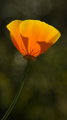 enlightened by the setting sun.jpg (remiklitsch) Tags: yellow poppy bokeh remiklitsch nikon backlit evening california nature