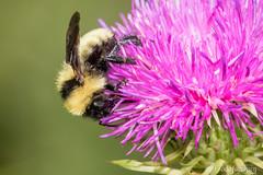 Golden Northern Bumble Bee (Bombus fervidus) (Frode Jacobsen) Tags: goldennorthernbumblebee bombusfervidus insect animal nature fauna invertebrate frodejacobsen maryland indianspringswildlifemanagementarea wildlife organism bee