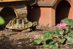 Pauli (G_Albrecht) Tags: reptilia testudohermanni griechischelandschildkröte landschildkröte reptil schildkroete tier umwelt