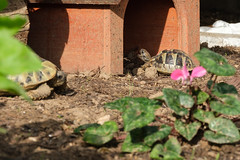 Rango ist müde (G_Albrecht) Tags: reptilia testudohermanni griechischelandschildkröte landschildkröte reptil schildkroete tier umwelt