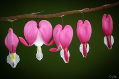 Coeurs saignants (beauprecobo) Tags: fleur fleurs coeurs coeur rose blanc nature verdure